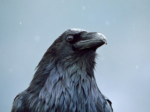Raven's Favor