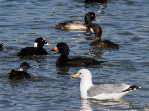 Pacific herring are spawning in San Francisco Bay and the birds are loving it
