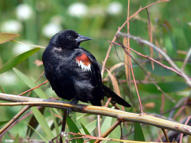 California Fish and Game Commission to weigh designating Tricolored Blackbird an endangered species