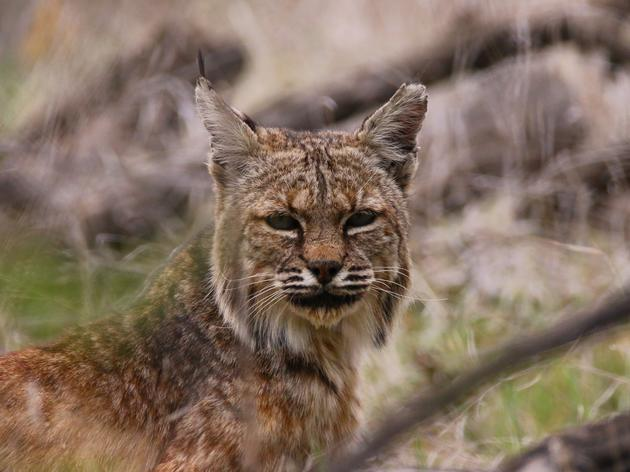 Bobcat visits the Audubon Center at Debs Park