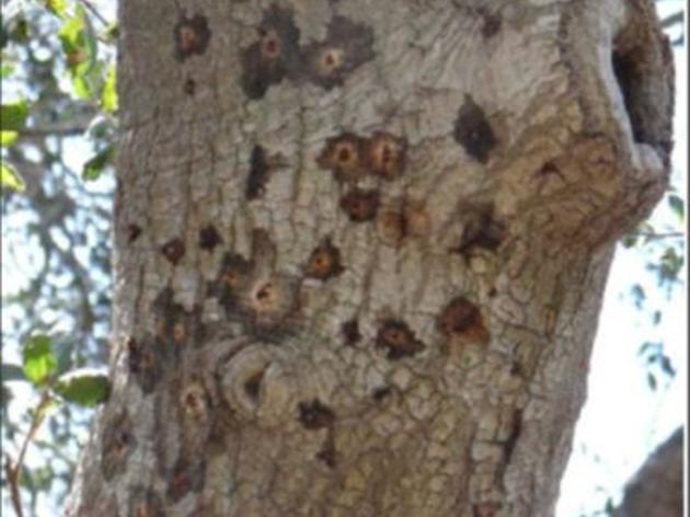 So Cal trees threatened by borer beetles and the diseases they carry