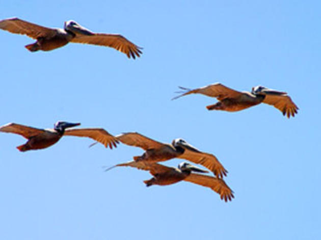 Delisting of Brown Pelican highlights bird's remarkable recovery under Endangered Species Act