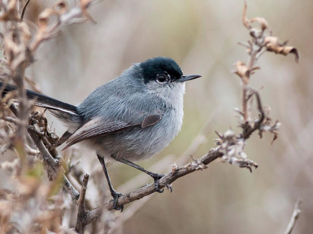 Legal action aims to protect Threatened Coastal California Gnatcatcher