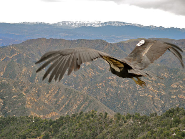 There's another California Condor chick in the world