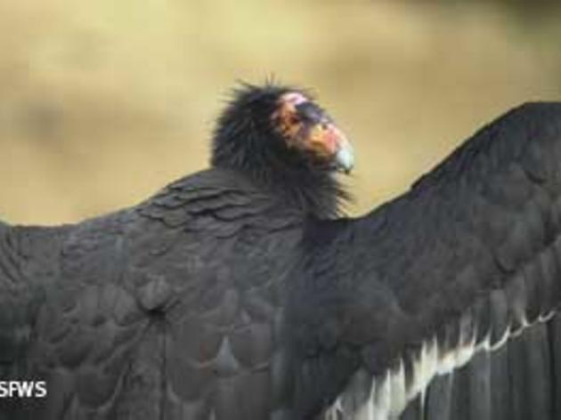 Big Sur fires putting California Condors at risk