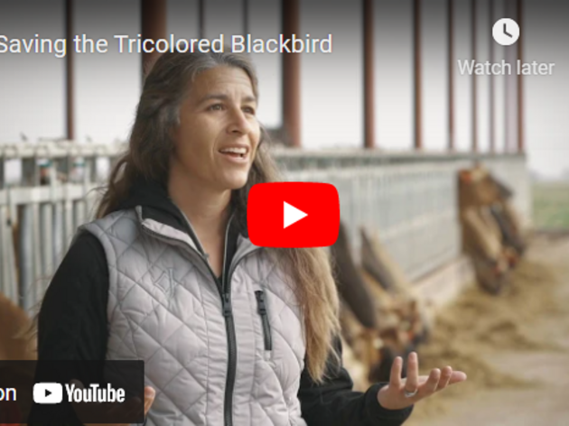 Farmers Play Key Role in Protecting Tricolored Blackbirds