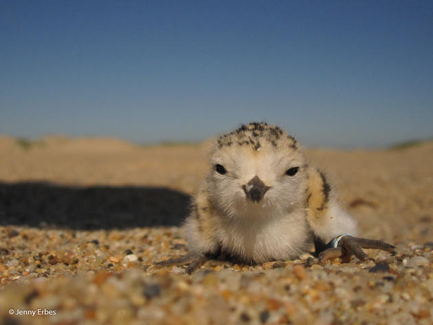 How to Help Snowy Plovers at the Beach