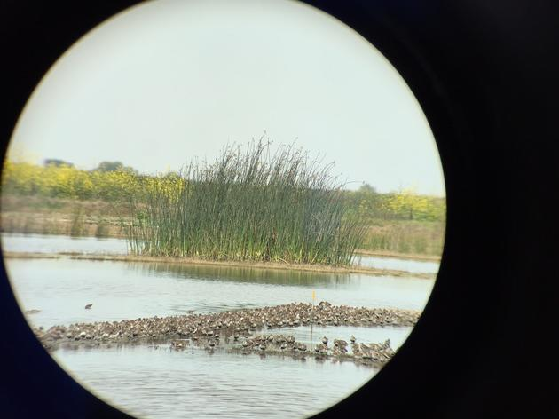 Creating Shorebird Habitat on Duck Clubs in the San Joaquin Valley