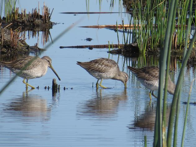 Reflecting on Shorebirds, Drought, and the Central Valley