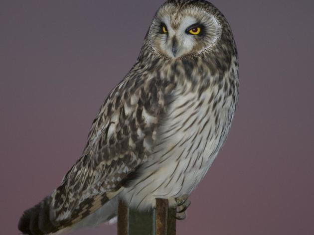 Wanted: Short-eared Owl Surveyors