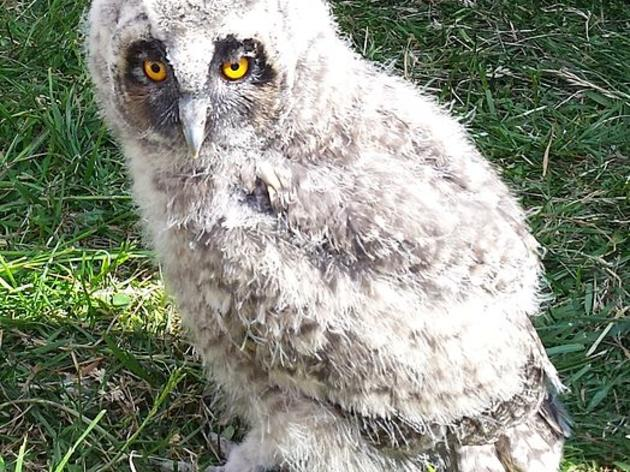 Wanted: Volunteers for Short-eared Owl Survey