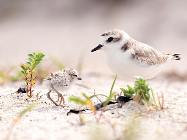 Audubon California Urges Beachgoers to Share the Shore with Nesting Birds