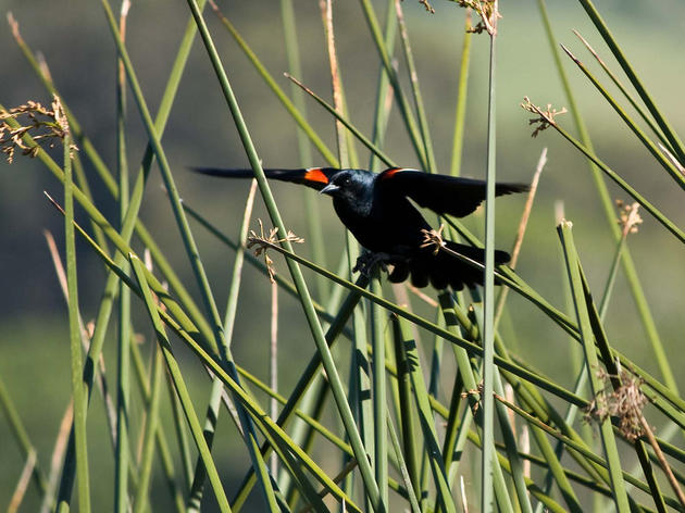 CDFW wants comment on the Tricolored Blackbirds listing and Stanislaus Audubon Society responds accordingly