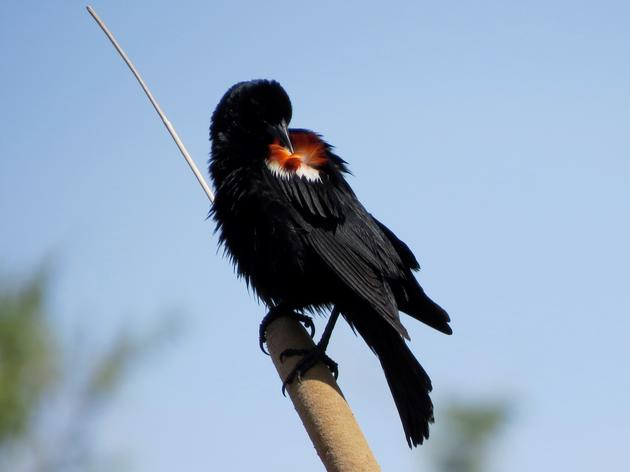 The small town of Newberry Springs—right off Historic Route 66—is home to more than 700 Tricolored Blackbirds