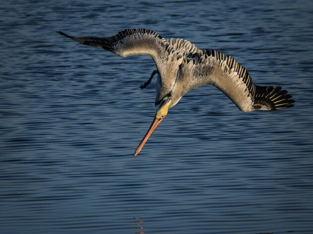 Audubon California: Orange County Oil Spill of Extreme Concern to Migrating Seabirds