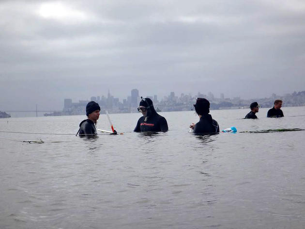 Restoration of eelgrass continues in San Francisco Bay