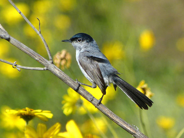 Why we're pumped about California Gnatcatchers