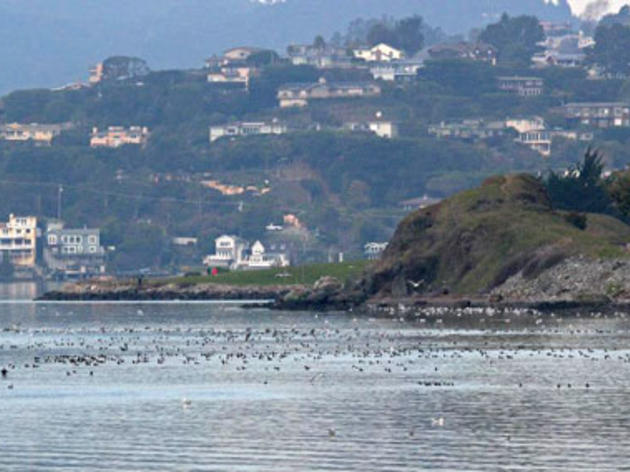 First big herring run in San Francisco Bay creates feeding (and birding) frenzy