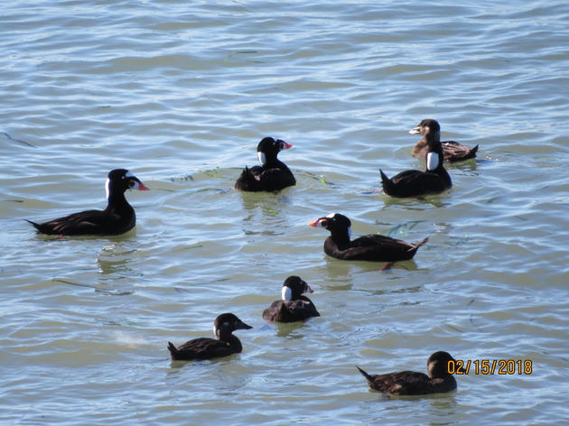 Waterbird feeding frenzy in Point Richmond