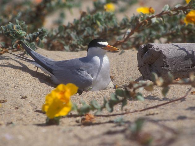 Endangered birds nest at Malibu Lagoon Beach