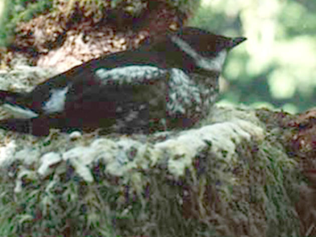 Audubon network helps save Marbled Murrelets in California
