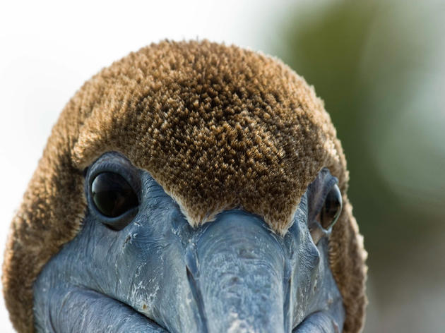 Bird Lovers United to Count Brown Pelicans