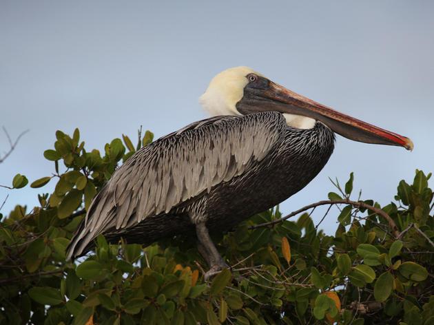 State delists California Brown Pelican
