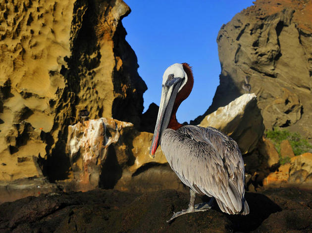 Bird enthusiasts join coast-wide effort on May 6 to count brown pelicans