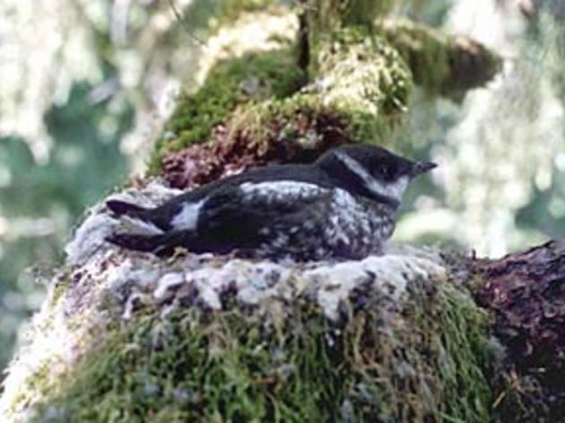 A win for Central Coast Marbled Murrelets