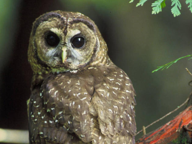 Victory for the Northern Spotted Owl