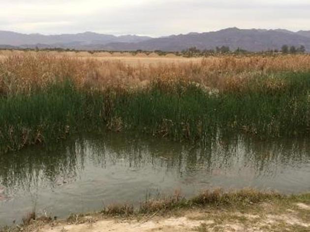 Tricolored Blackbirds spotted at San Bernardino Valley Audubon's restoration site