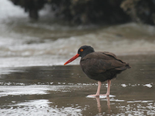 Black Oystercatcher and global warming