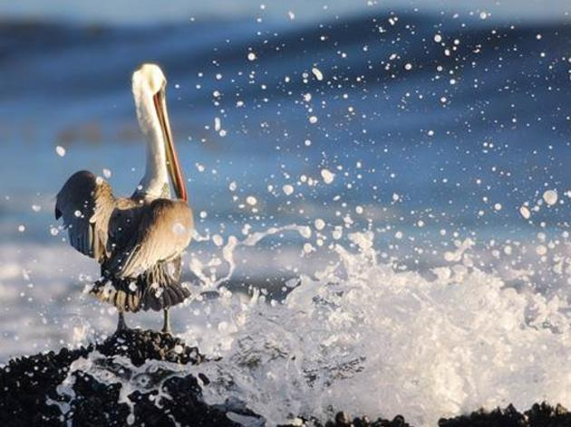 Troubling news on Pacific Brown Pelicans