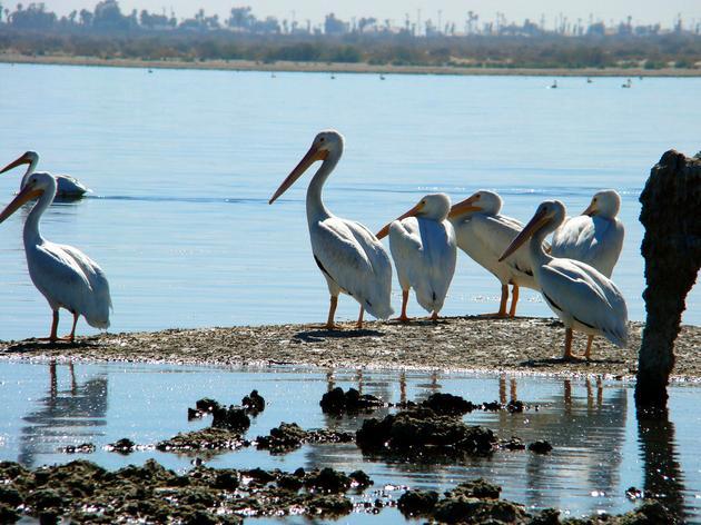 Audubon's role at the Salton Sea