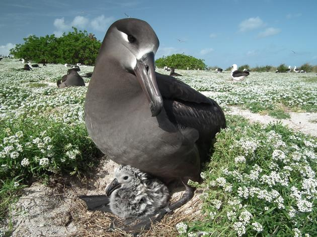 Albatrosses Killed by Longline Fishing Gear