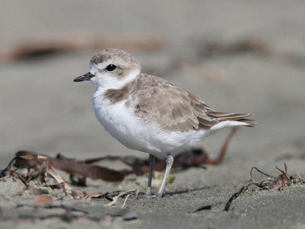 Wintering population of Pacifica Snowy Plovers increasing
