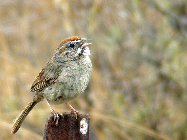 Oldest recorded Rufous-crowned Sparrow found at the Audubon Starr Ranch