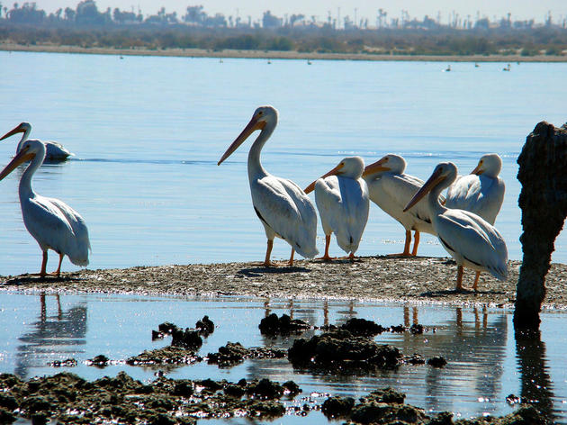 Salton Sea's iconic pelicans and cormorants are quickly becoming a thing of the past