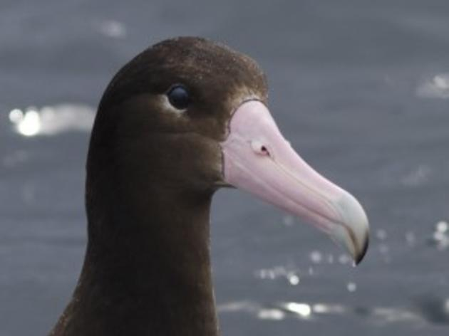 A brighter future for short-tailed albatross