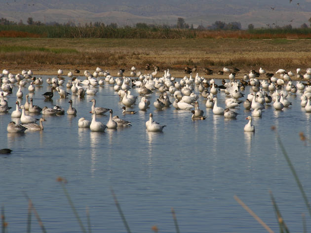 Bill defending California's migratory birds passes critical Senate committee vote