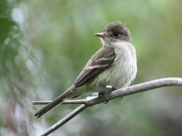 Embattled Southwestern Willow Flycatcher to remain on Endangered Species List