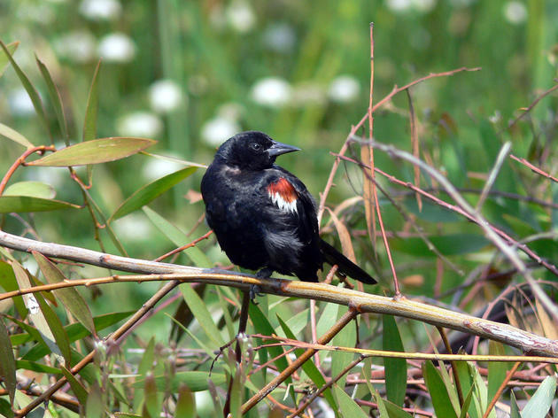 State official recommend endangered species protections for Tricolored Blackbird