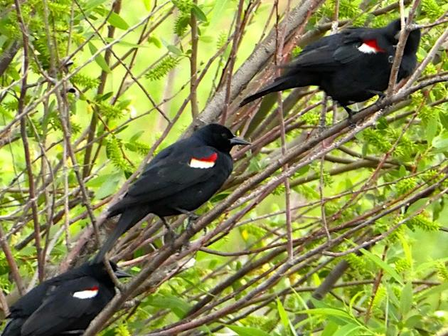 Debi Shearwater and the Tricolored Blackbirds of San Benito County