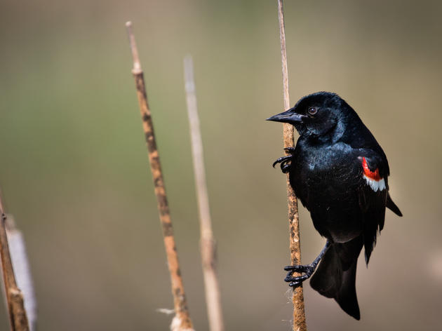 Tricolored Blackbird gets new protections in fight to stave off extinction