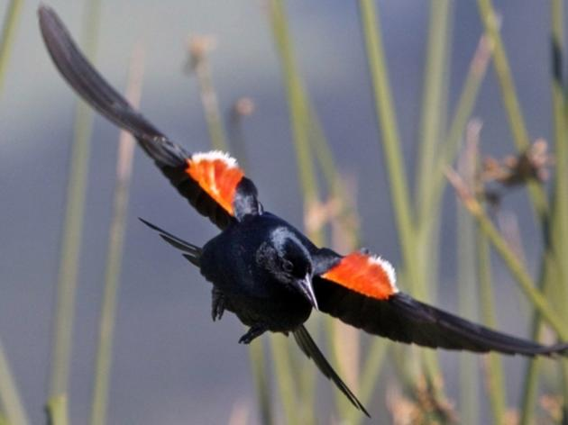 100% of vulnerable Tricolored Blackbird  colonies on farmland saved