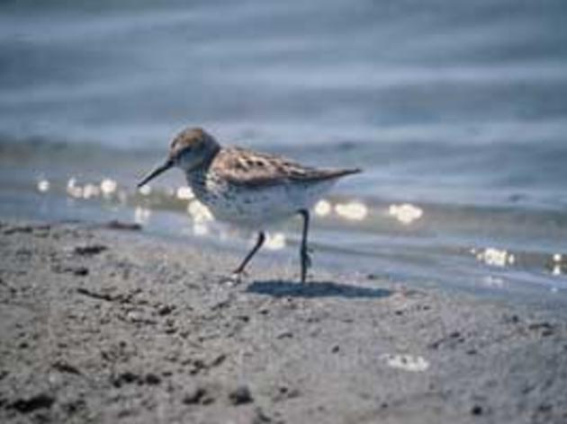 Western Sandpiper is an important bird for conservation in California