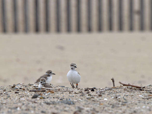 Western Snowy Plovers nest at Huntington State Beach for the first time in five decades