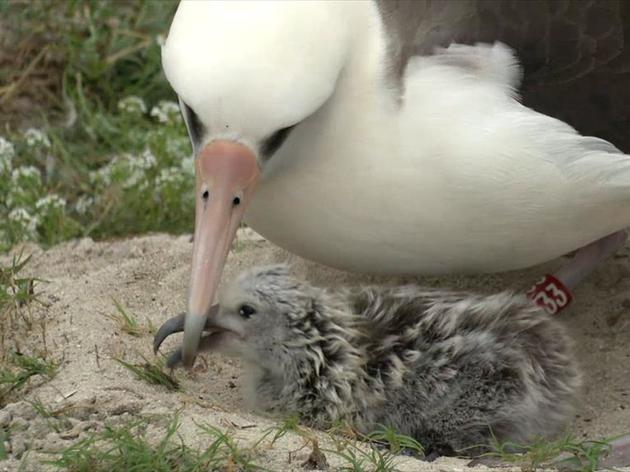 Wisdom the Laysan Albatross still smashing age and breeding records for wild birds