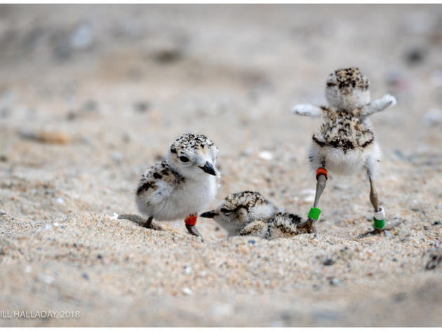 Western Snowy Plover reaches important milestone in its recovery