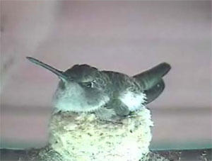 live web cam of hummingbird nest at audubon starr ranch audubon